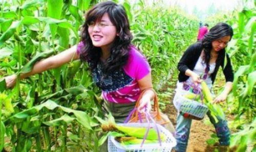 【中国新闻网】武汉市汉南10万亩甜玉米批次上市