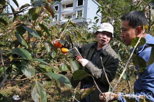 在寨坡村指导柿树栽培