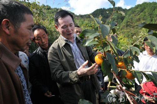 在蒿坝坪村指导柿农采摘