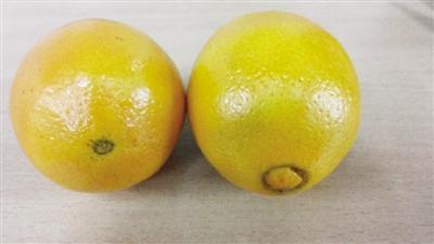 【生活报】记者采访农林专家解惑:橙子不分公母 有脐的未必甜