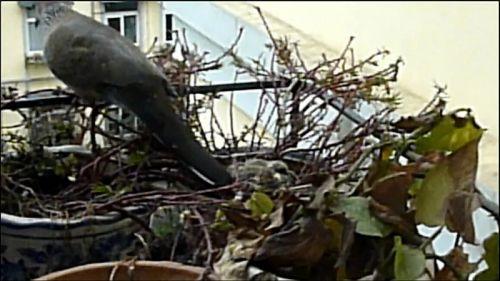 3月8日,大斑鸠在孵出雏鸟后离开鸟巢的瞬间(视频截图)