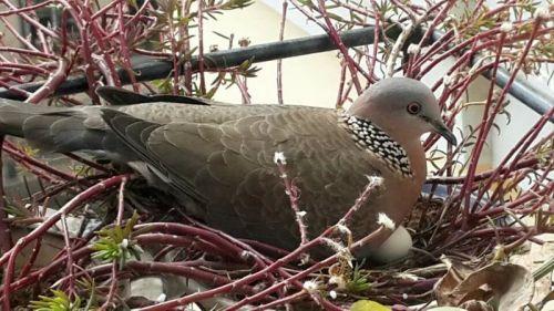 3月3日,发现斑鸠在孵蛋