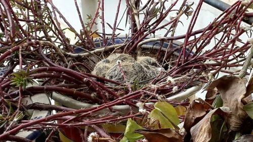 3月8日,刚刚出生的小斑鸠