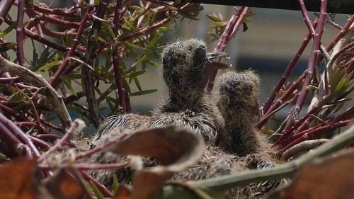 3月13日,小斑鸠在盼望父母,它们饿了。