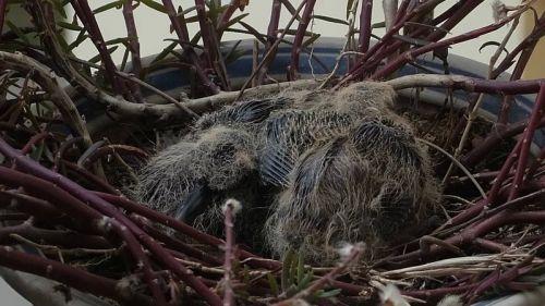3月10日,小斑鸠的翅膀开始长出羽毛