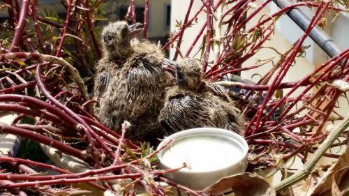 3月12日,小斑鸠向着房顶上的大斑鸠张望。那是一杯牛奶,后来觉得不适合它们,就拿走了。