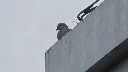 3月11日,在房顶上守护孩子的大斑鸠