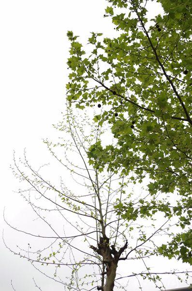 这种悬铃木的优点包括晚花少果,秋天落叶彻底以及秋叶美丽等.