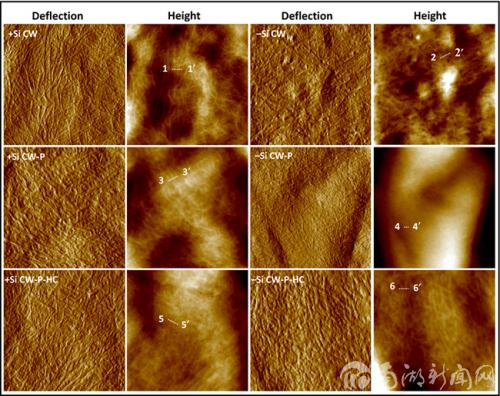 原子力显微镜下水稻悬浮细胞壁和其组分的变化