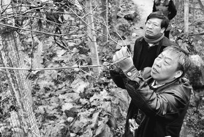 华中农业大学蔡礼鸿教授(前)和校长邓秀新院士一起在察看葡萄长势。刘涛摄