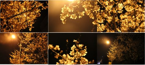7图七 夜樱