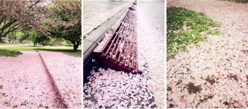 8图八 落樱花舞