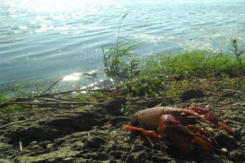 """""""爬""""在基塘的小龙虾尸体 摄影成沛楠"""