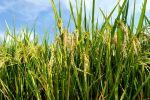 """""""绿色超级稻""""重大项目中期检查举行"""