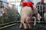 第16届中国武汉种猪拍卖展销会落幕