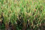 现场测产:机收再生稻再生季平均亩产402.1公斤