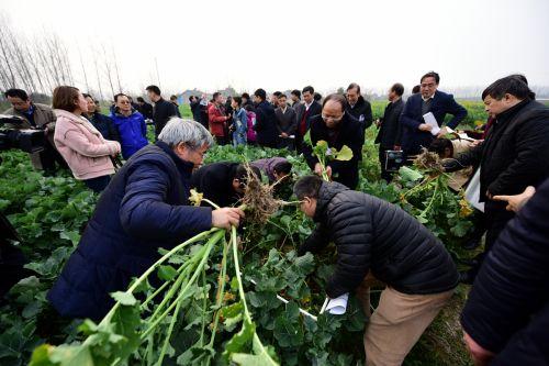 张献龙等专家在枝江问安镇龚桥村为油菜抗根肿病新品种进行现场鉴定