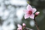 十里桃林遥相聚:第八届桃花节扮靓校园