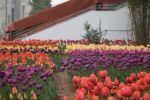 6万花朵怒放 园林助力郁金香落根故土