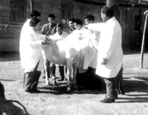 8.1973年.畜牧系基础课教师在钟祥兽医院锻炼