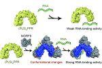 【一天三弹】植物RNA是如何被编辑的?