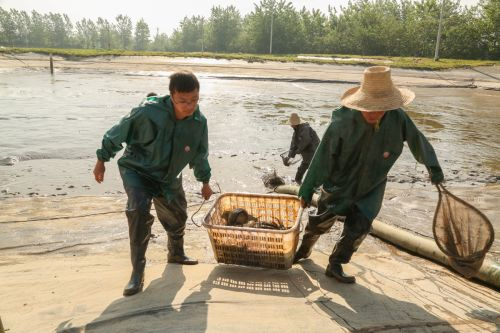 3.清塘:将鱼儿挑出打针