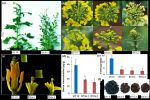 甘蓝型油菜硼转运基因功能研究获新进展
