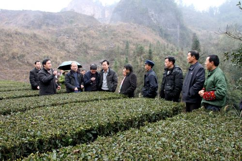 挂职宣恩县农业局副局长的周继荣博士在晓关乡指导有机茶生产_副本