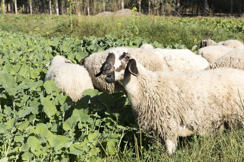 羊群直奔饲料油菜而去