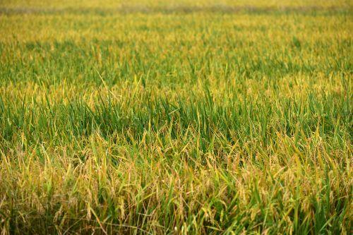 荆州市9000余亩再生稻长势喜人
