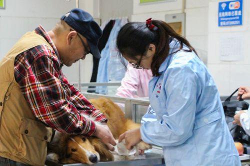宠物正在接受治疗中学通社记者陈滢双