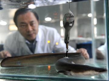 庄平-11鳗鱼标记放流研究