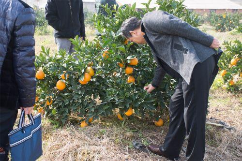 嘉宾查看脐橙品质(学通社记者 彭雨格 摄)