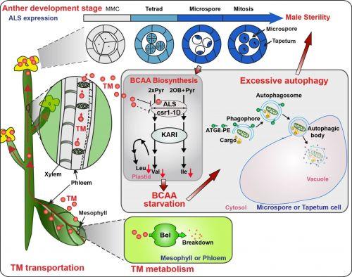 图1. 苯磺隆诱导油菜花粉败育的分子机理