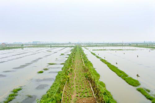 潜江农业技术推广中心负责人介绍,在潜江市稻虾共作田已达60万亩的规模。
