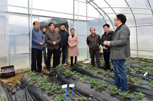 园林学院别之龙教授向李召虎一行介绍大棚草莓种植情况