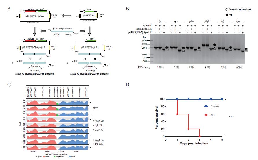 应用建立的Ago系统成功构建了鸡霍乱巴氏杆菌的无痕基因缺失突变弱毒菌株,效率高达80-100%,且无脱靶效应