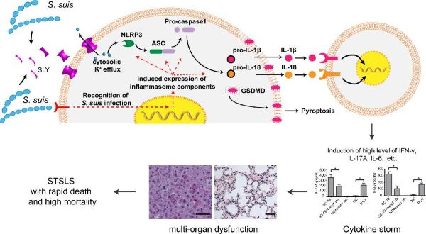 我校成功解析猪链球菌导致中毒休克样综合征(STSLS)的分子机制