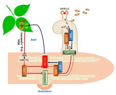 我校揭示GmNINa-miR172c-NNC1模块调控大豆根瘤数量机制_科学研究_新闻_南湖新闻网