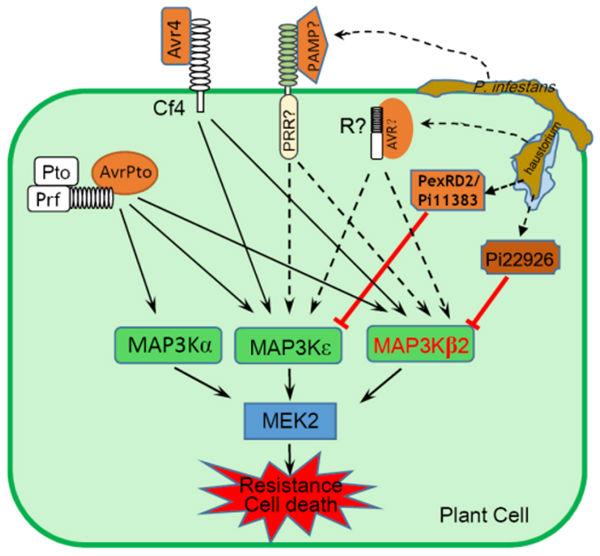 两个晚疫病菌效应子协同效抑制寄主免疫反应