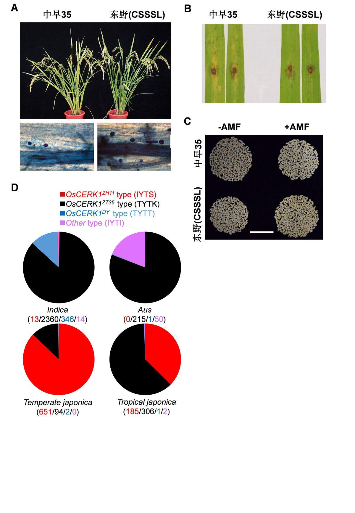华中农大发现自然变异调控水稻与菌根真菌互作