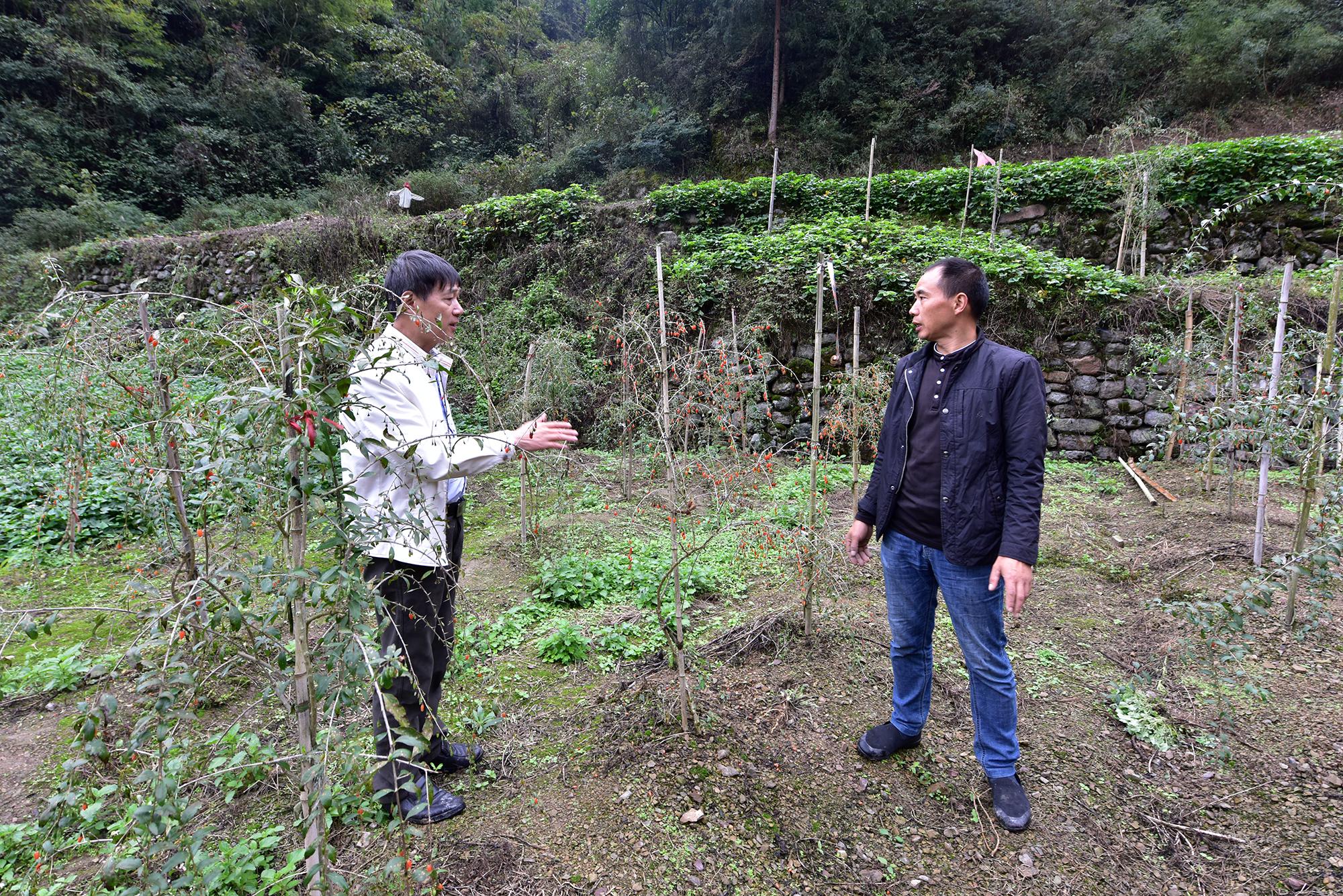 王沫教授现场指导东门溪村枸杞种植户