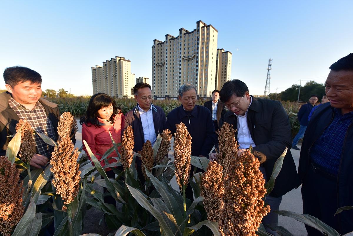 第三部分:傅廷栋院士、邓秀新院士在吉林白城农科院调研高粱种植(通讯员 刘涛 摄)