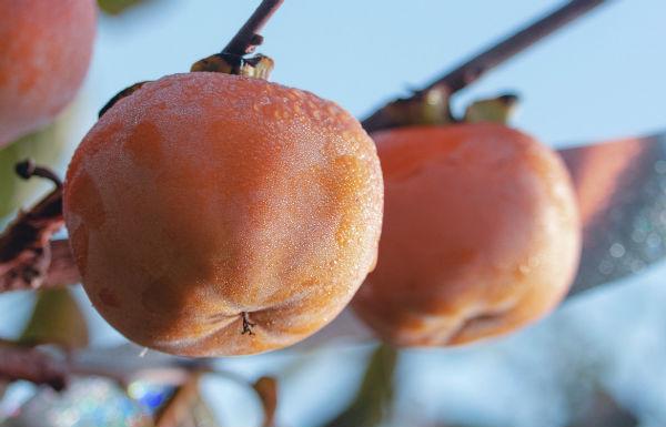 <b>我校甜柿园再度开放采摘 吸引师生及游客近两千人</b>