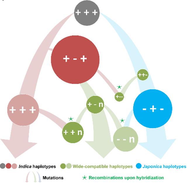 图1 S5位点起源演化过程示意图。