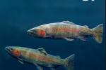 投注网揭示鱼类免疫球蛋白在维持黏膜共生微生物稳态中的免疫机制