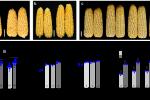 我校玉米研究团队发表最新研究成果解析玉米重要产量基因