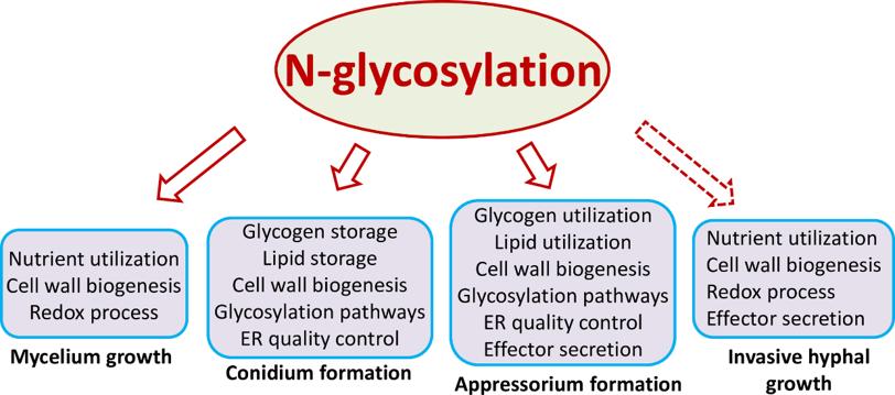 图1 N糖基化修饰协调稻瘟菌不同发育和致病过程
