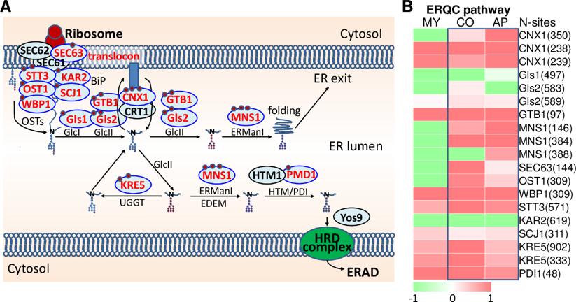 图2  N糖基化修饰调控稻瘟菌ERQC系统