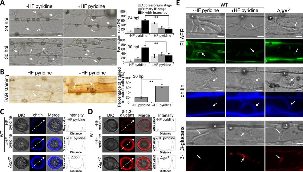 图3 GPI锚定蛋白可保护细胞壁几丁质和β-(1,3)葡聚糖免受寄主防卫机制识别
